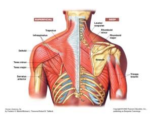back anatomy jacksonville chiropractor